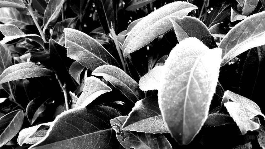 white surrounding Frosted Leaves Hoarfrost On Plant Autumn Collection Autumn Leafs No People Monochrome Silence Natural Structures Blackandwhite Atmospheric Mood Still Life Backgrounds Structures In Nature Botanical Shadowplay Shadows & Lights Hoar Frost Frosty Surrounded Autumn Autumn Leaves EyeEm Best Shots EyeEm Nature Lover EyeEm Selects EyeEm Best Shots - Black + White Leaf Close-up Plant Plant Life Botany