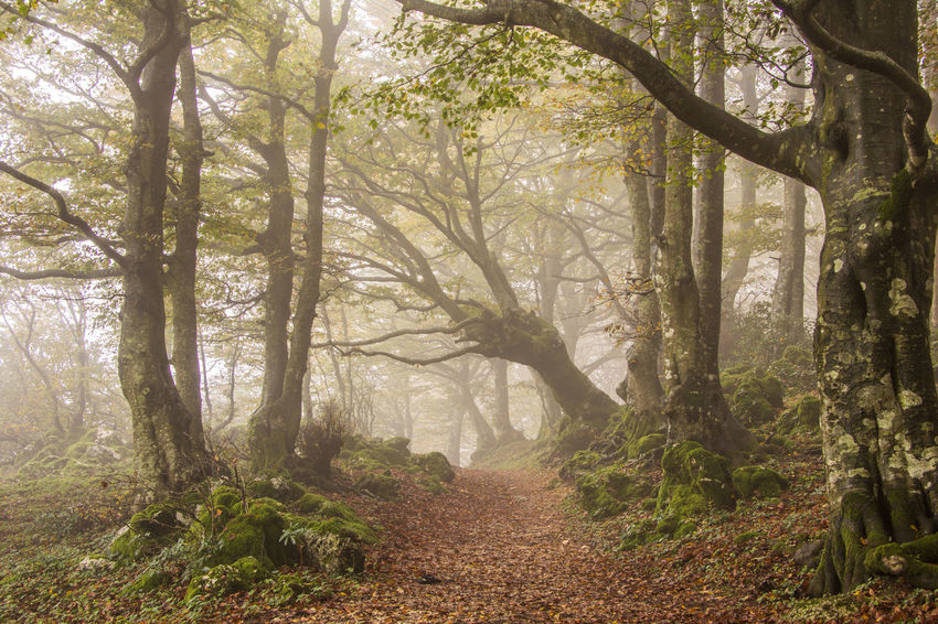 Pathway with fog in the enchanted forest Atmosphere Autumn Branches Ghost Mystic Wood Beauty In Nature Beech Forest Enchanted  Fantastic Fog Foliage Forest Italy Monte Cucco Mountain Mysterious Mystery Pathway Secret Tranquil Scene Tree Trunk Umbria Wallpaper WoodLand