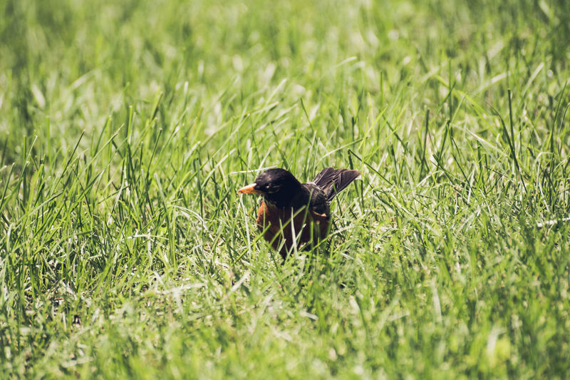 Animal Themes Beauty In Nature Black Color Close-up Day Field Focus On Foreground Grass Grassy Green Green Color Growth Landscape Mammal Nature No People Outdoors Plant Running Selective Focus Tranquility