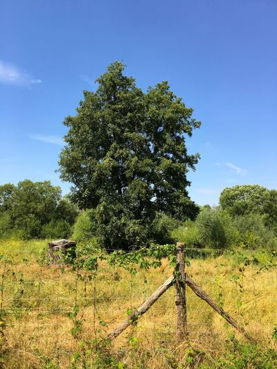 Nature Tree Fence Pasture Field Summer Blue Sky Trees And Sky Beautiful Nature Enjoying The Sun No People Tranquility
