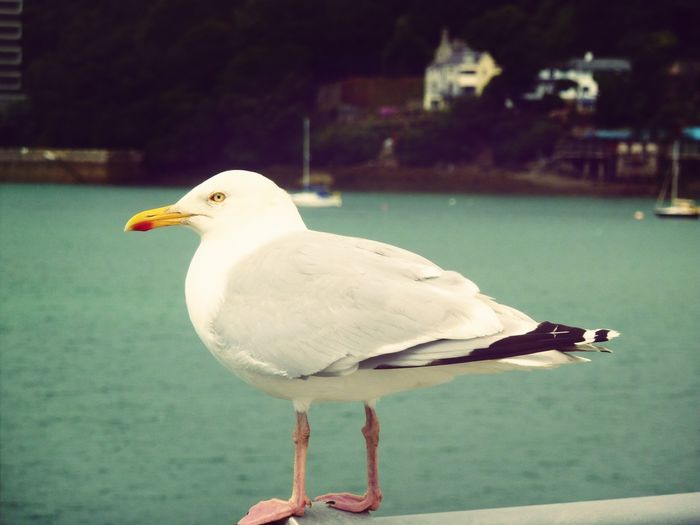 Taking Photos Seagull