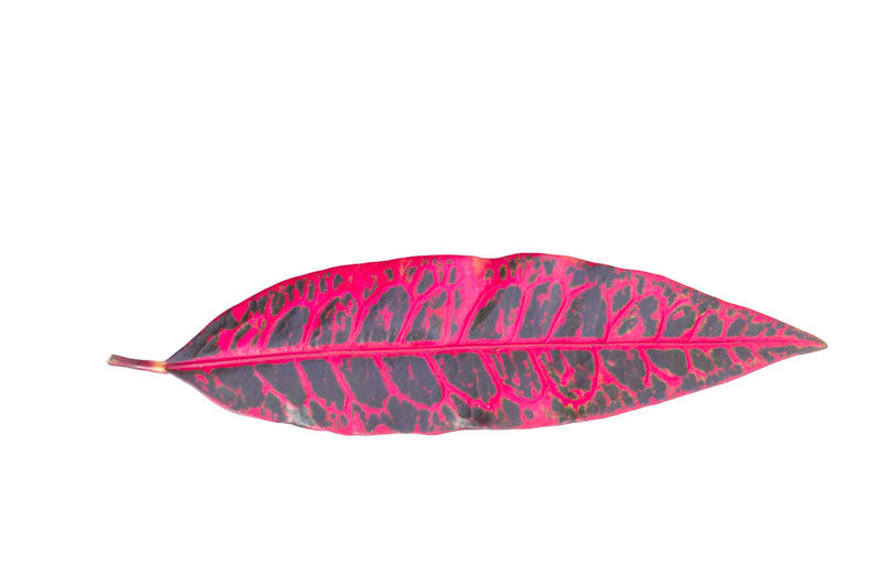 Pink Plant Winter Beauty In Nature Close-up Color Leaf Colorful Cut Out Day Leaf No People Pink Leaves Red Season  Studio Shot White Background