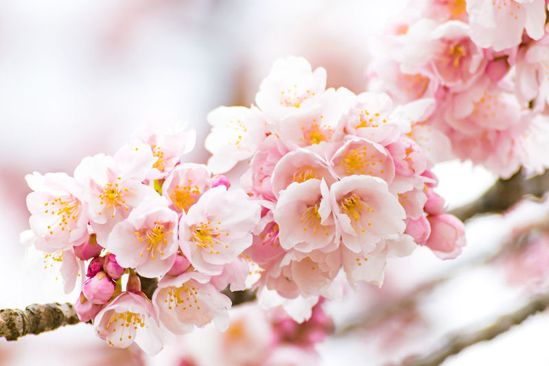 Almond Tree Beauty In Nature Blossom Branch Close-up Day Flower Flower Head Fragility Freshness Growth Nature No People Outdoors Petal Pink Color Plant Springtime Tree たぶん 河津桜