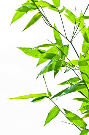 Backgrounds Bamboo - Plant Bamboo Leaf Beauty Beauty In Nature Cannabis Plant Close-up Day Freshness Green Color Growth Herb Leaf Nature No People Plant Summer White Background