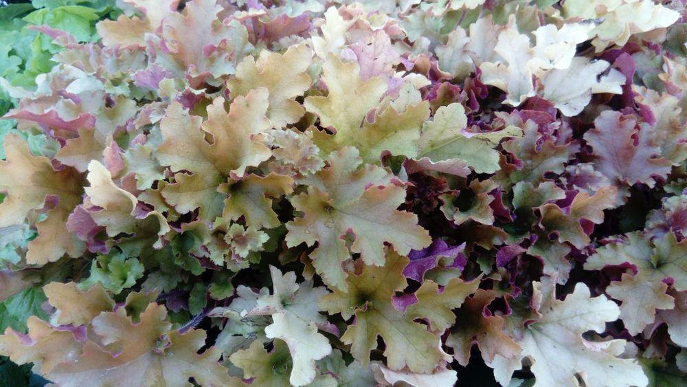 Full Frame Close-up Outdoors Freshness Saxifragaceae Purpurglöckchen At Work Autumn🍁🍁🍁