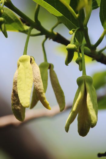 Close-up of green fruit on tree