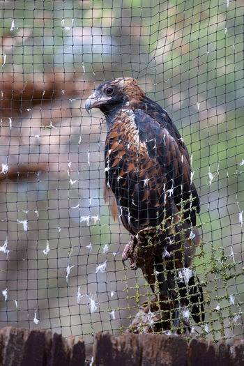 Bird Animal Themes Animal Vertebrate Animal Wildlife Animals In The Wild One Animal No People Animals In Captivity Day Cage Nature Close-up Perching Outdoors Beak Metal Zoo Full Length Sunlight Eagle - Bird Endangered Species
