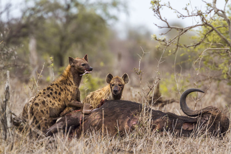High angle view of hyena eating dead animal in forest