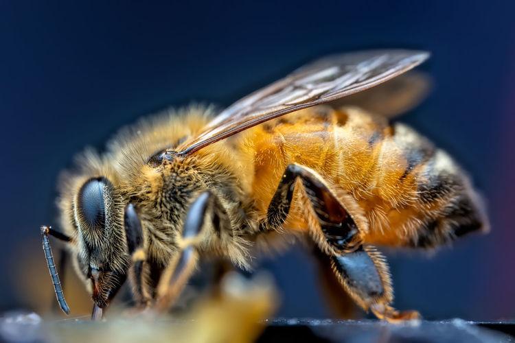 Close up of a honeybee.