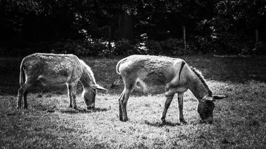 Animal Themes Mammal Livestock Field Domestic Animals Grazing Nature Day Tree Outdoors No People Grass Young Animal Standing Full Length Togetherness Donkey Two Animals Nature_collection EyeEm Gallery Monochrome _ Collection Black & White Monochrome Photography Black And White Photography Fauna