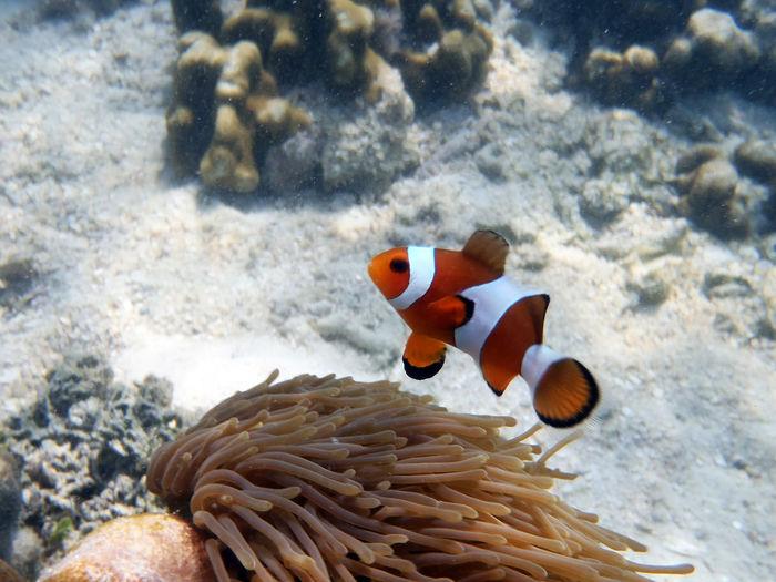 Beauty In Nature Snorkeling Clown Fish UnderSea Selective Focus Sea Life Water Vacations Animals Animal Animals In The Wild Water - Collection Fish Clownfish Underwater