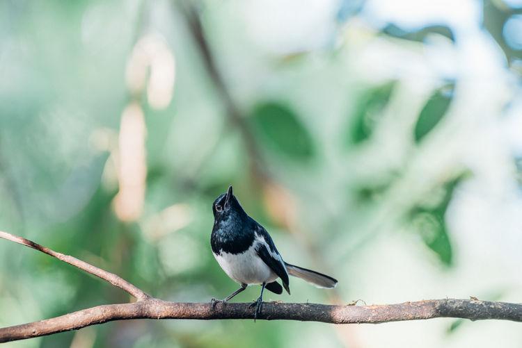 Bird (Oriental