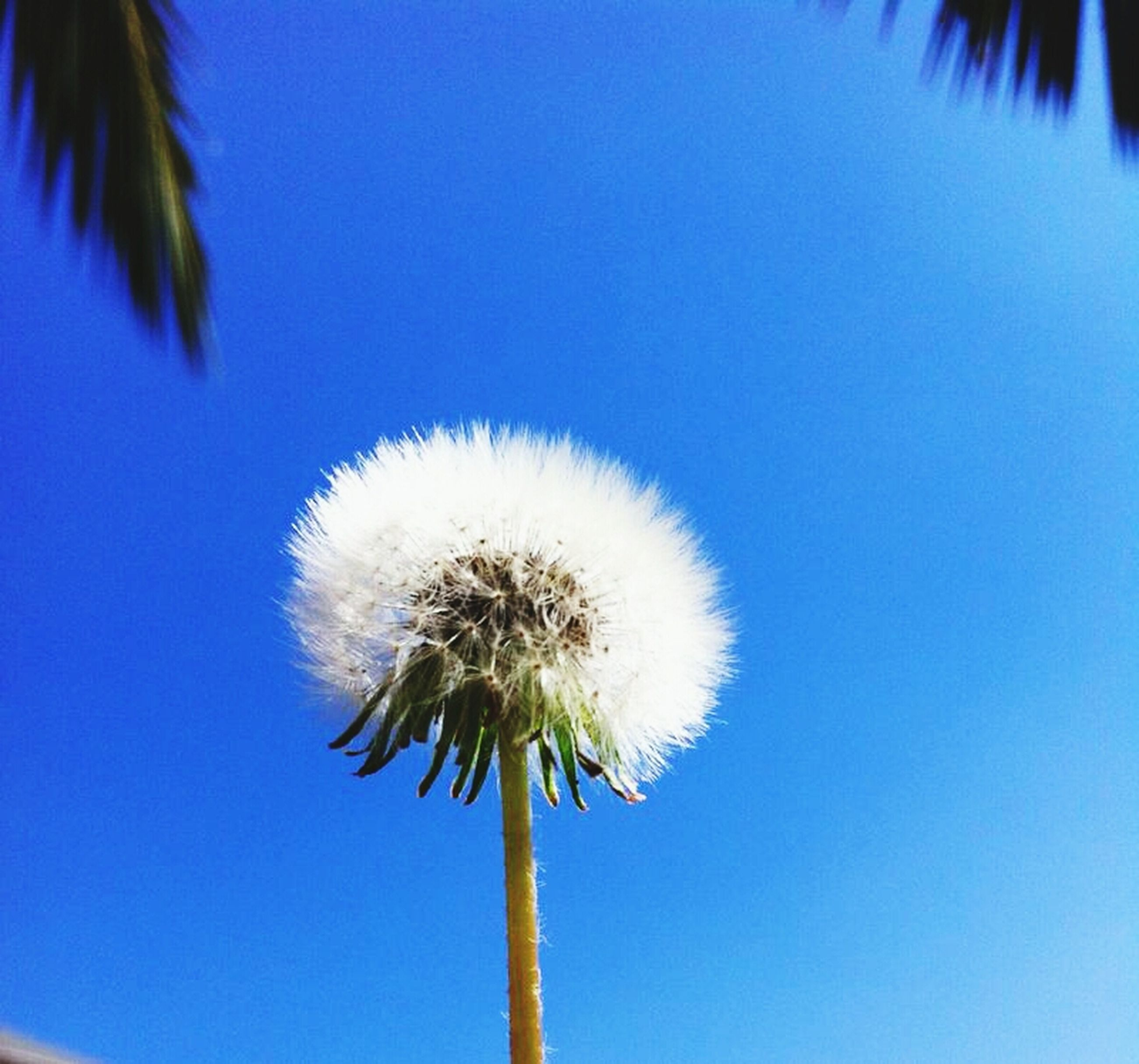 dandelion, flower, low angle view, fragility, flower head, growth, clear sky, blue, single flower, beauty in nature, stem, nature, freshness, palm tree, close-up, softness, dandelion seed, sky, no people, uncultivated
