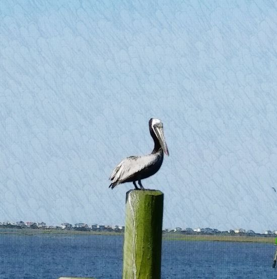 The Great Outdoors With Adobe Pelican Birds Animals Birds Simplicity Saltlife Birds And Blue Sky Pelican On Pier Birds Of EyeEm  Birds The Great Outdoors With Adobe.