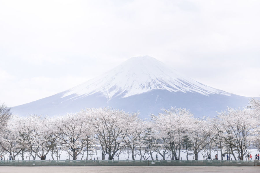 Awe Beauty In Nature Cherry Blossoms Cold Temperature EyeEmNewHere Japan Japan Photography Japanese Culture Japanese Temple Landscape Mountain Mt Fuji Natural Landmark Nature No People Outdoors Pastel Colors Sakura Scenics Snow Travel Destinations Travel Photography Volcano 富士山