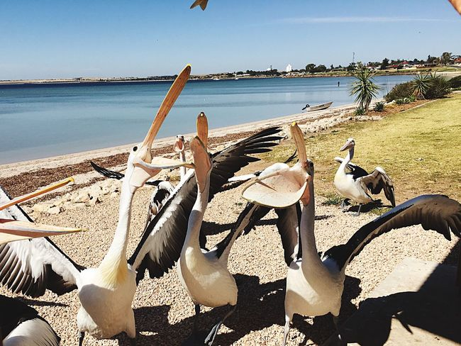 Pelicans Mine Sea And Sky Ocean View Pelicans fighting for fish scraps at Streaky Bay South Australia