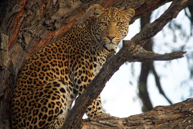 Portrait Of Leopard Sitting On Tree