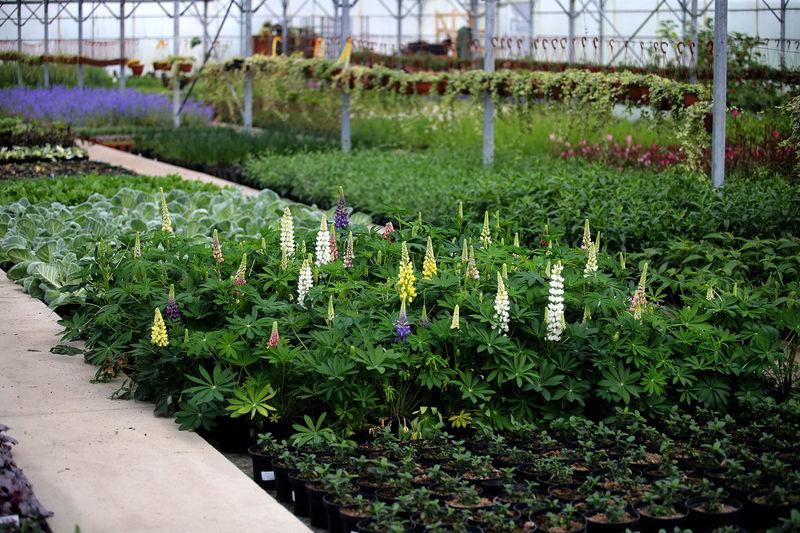 Flowering plants in greenhouse