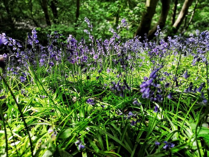 Bluebells Bluebells Bluebell Wood Bluebell Fern Wood Forest EyeEm Nature Lover EyeEmNewHere EyeEm Gallery Urban Urbanphotography Urban Photography Flower Purple Close-up Grass Plant Life Blossom In Bloom Blooming Flower Head Botany