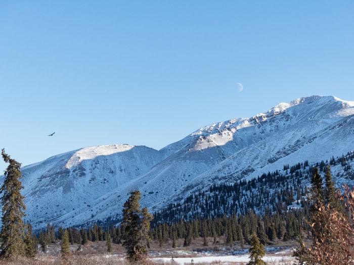 eagle, moon & mountain Beauty In Nature Canada Clear Sky Cold Temperature Day Eagle Landscape Landscape Nature Photography [a:3647563] Landscape_photography Moon Mountain Mountain Range Nature No People Outdoors Scenics Snow Snowcapped Mountain Tranquil Scene Trees Wilderness Wilderness Area Winter Yukon Territory