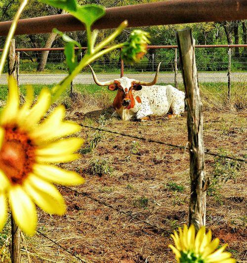 """Staring Steer"" - Fort Griffin, Texas Texas Longhorn Sunflower Sunflowers Longhorns Westtexas Fort Griffin Texasfort Fort"
