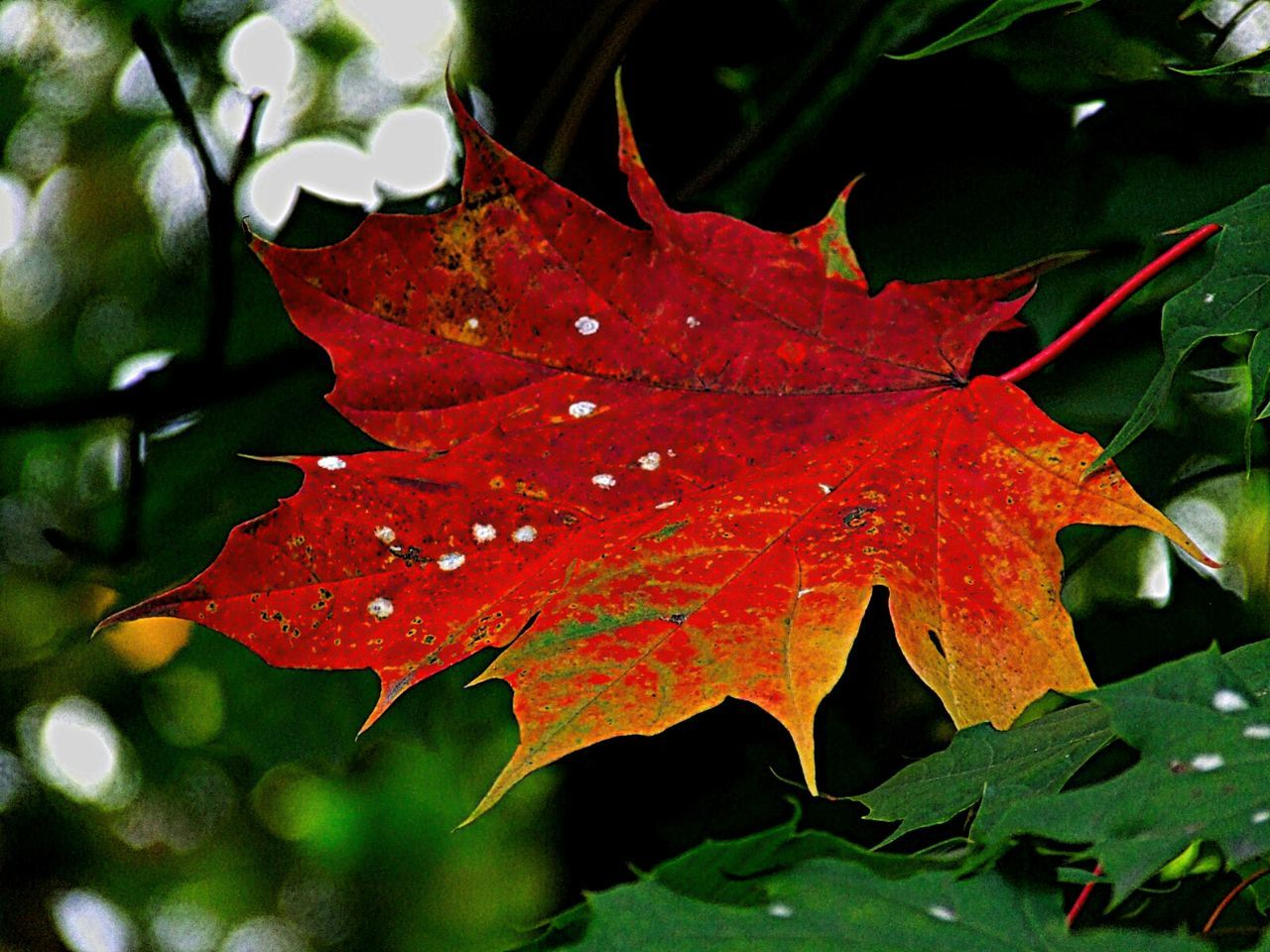 leaf, autumn, change, maple leaf, maple, nature, beauty in nature, leaves, day, outdoors, red, no people, maple tree, close-up, water, growth, fragility