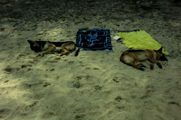Let sleeping dogs lie Dog Bhoput Thailand Beach Funny Dogs Sun Tanning Heat