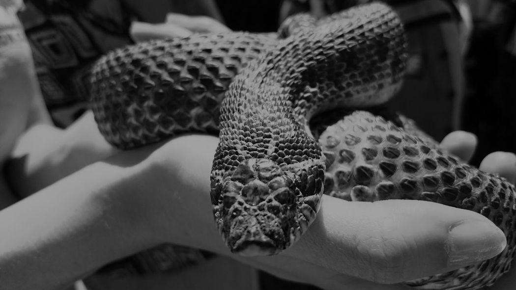 Winnipeg Snakes B&w