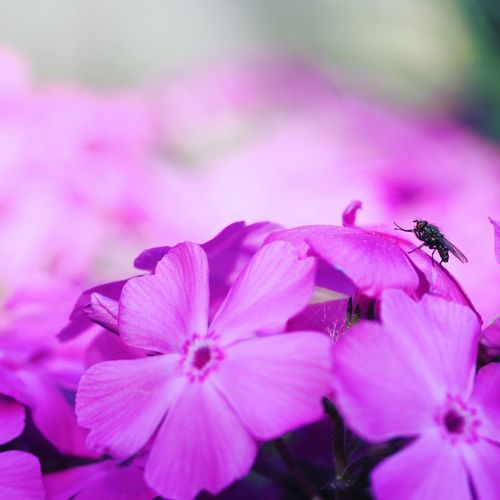 Phlox Fly Macro Photography Macro Macro_collection Beauty In Nature View No People No Filter, No Edit, Just Photography Different Perspective Best EyeEm Shot Eeyem Photography EyeEm Best Shots EyeEm Nature Lover EyeEm Selects EyeEm Gallery Nice View Nice Nature Nature Photography Waterdrops Phlox Nice View Flower Petal Springtime Blossom Plant