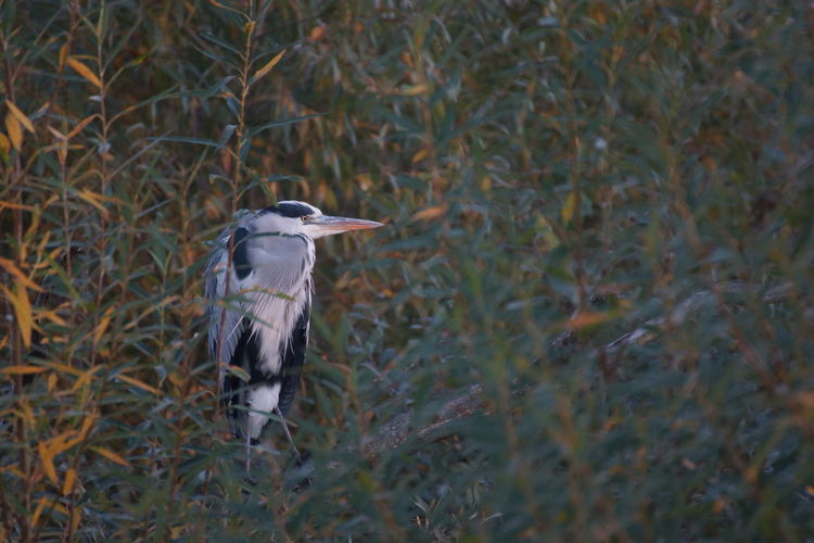 High angle view of gray heron perching on plant