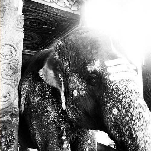 Elephant giving blessings! 🐘🐘🐘 Hollyelephant Elephant MeenakshiTemple Meenakshiammantemple Madurai Indiantemple India Southindia _soi Instatravel Travel Travel Traveljournal Pixelpanda_india Incredibleindia Picturesofindia Indiapictures Beautifulindia Hippieinhills Indiatravelgram Desi_diaries India Indianarchitecture Temple Temples bnw_india indiaclicks