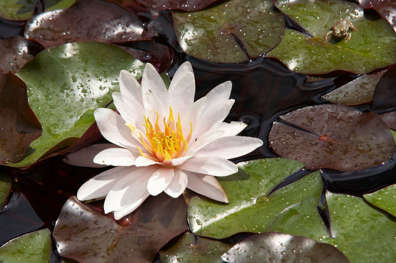 High angle view of white water lily on leaves