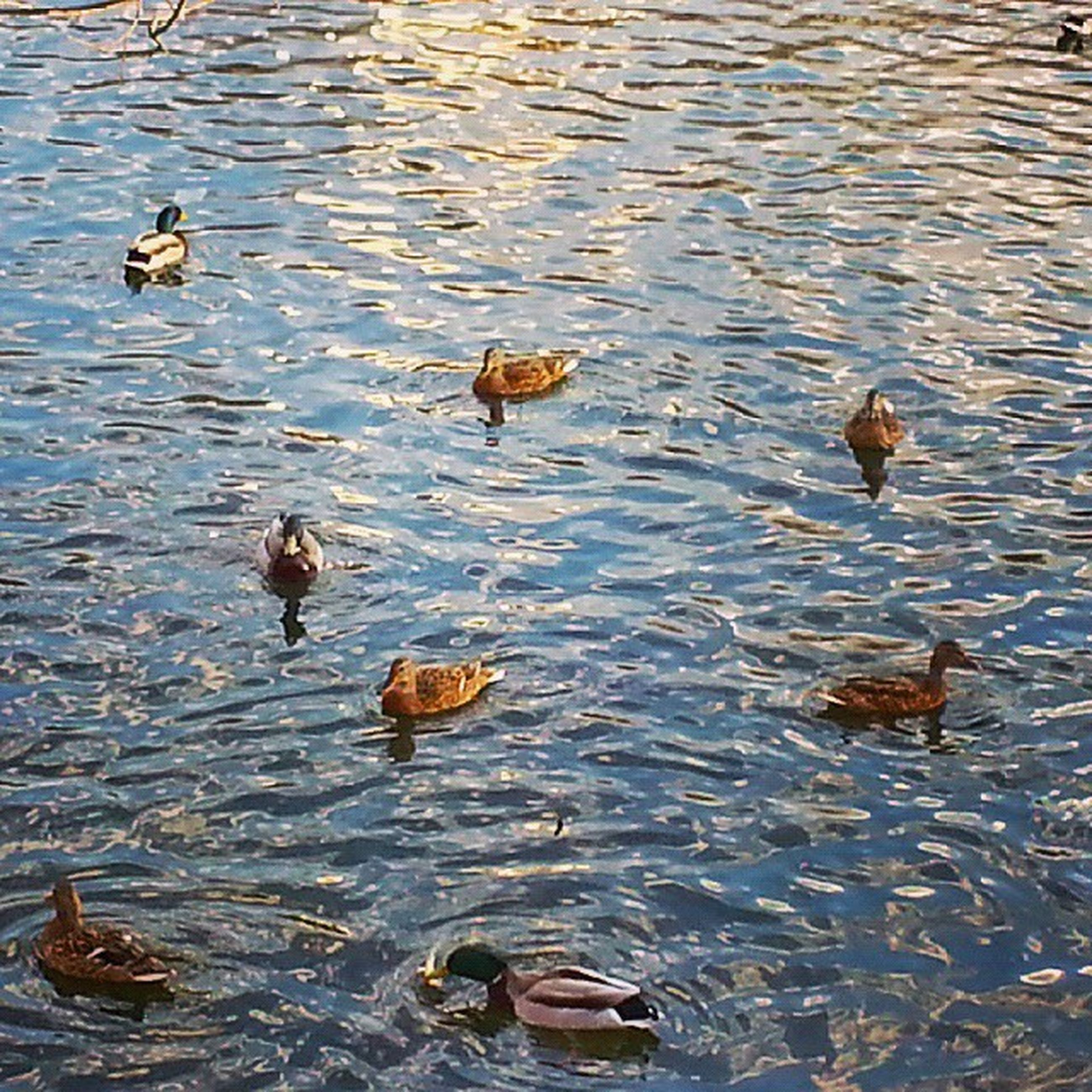 bird, animal themes, animals in the wild, wildlife, water, duck, lake, swimming, flock of birds, mallard duck, high angle view, reflection, togetherness, medium group of animals, water bird, nature, rippled, day, waterfront