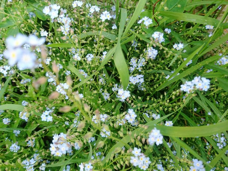 Flower Growth Nature Fragility Beauty In Nature Botany Blossom Freshness No People Outdoors Plant Full Frame Springtime Day Blooming Flower Head Forget Me Not Forget-me-not Forget Me Nots Summer Tranquility In My Garden Beauty In Nature Freshness Green Color
