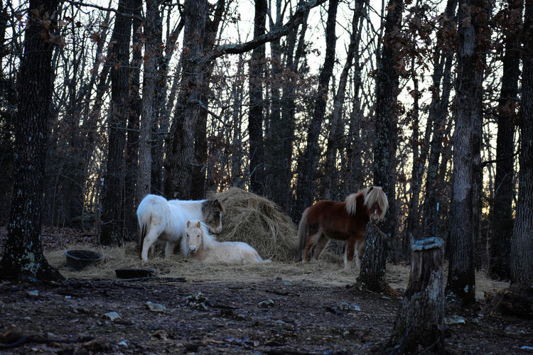 Horses in the forest