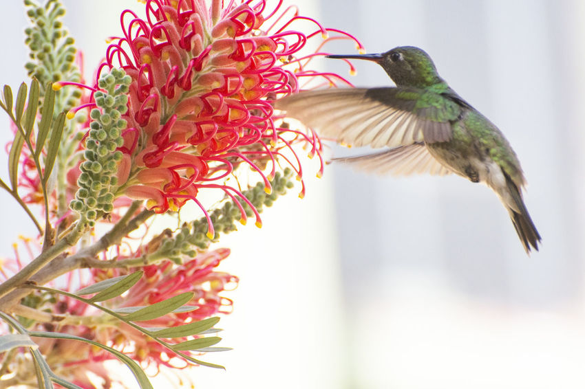 My friend the hummingbird. EyeEm Nature Lover EyeEm Selects EyeEm Gallery EyeEmNewHere Animal Animal Themes Animal Wildlife Animals In The Wild Beauty In Nature Bird Close-up Day Flower Flower Head Flying Focus On Foreground Green Color Hummingbird Mid-air Nature No People One Animal Outdoors Plant Vertebrate