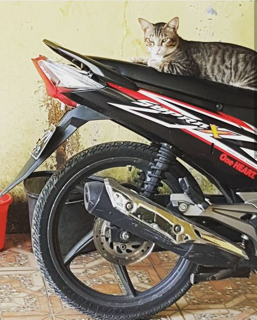 Meruyung Indonesia 2016. Cat ❤Bike Biker Motobikes Bestoftheday Domestic Cat Feline Pets Domestic Animals One Animal Looking At Camera Indoors