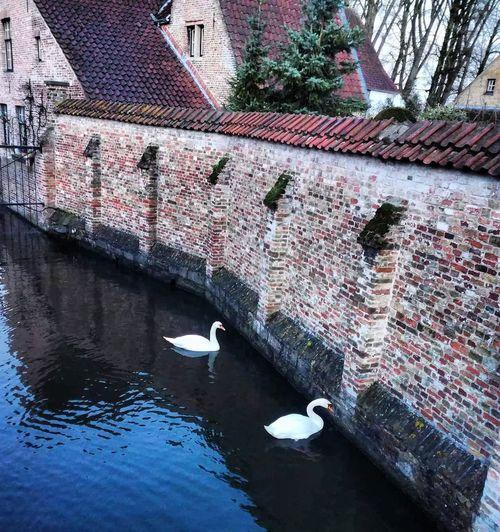 Swan Colours