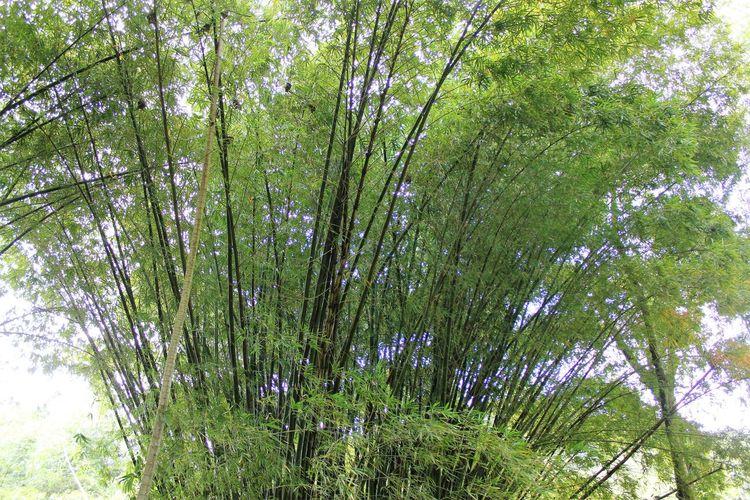 Bamboo Plant on Tobago Bamboo Grove Bamboo Shoots Bamboo Tree... Caribbean Island Bamboo Bamboo - Plant Bamboo Forest Bamboo Tree Caribbean Island Flora Caribbean Jungle Caribbean Rainforest Day Forest Growth Nature No People Outdoors Tree