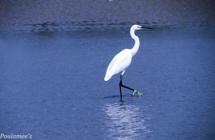 Beak Beauty In Nature Bird Gokarna Lonelyplanet One Animal Seaside Showcase: December Side View Swan Water White White Color Wildlife Coastline
