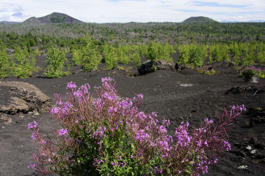 Willow herb in volcanic mountains Day Far East Flower Kamchatka Landscape Mountain Nature No People Outdoors Purple Russia Willow-herb