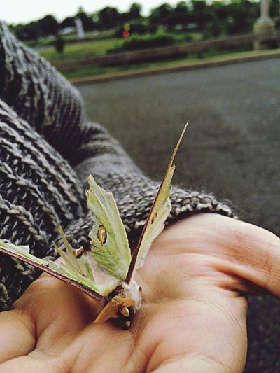 A moth I found Moth Nature Luna Moth