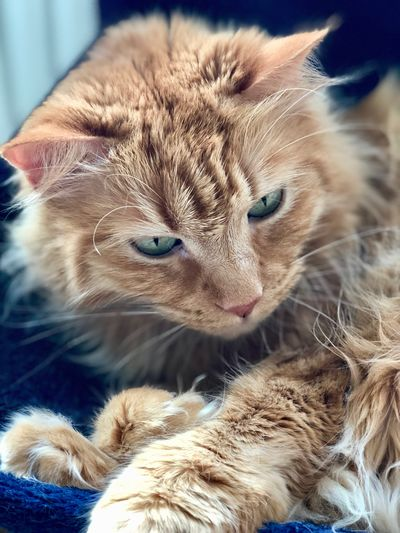 IPhone 8 Plus Domestic Cat Cat Pet Portraits
