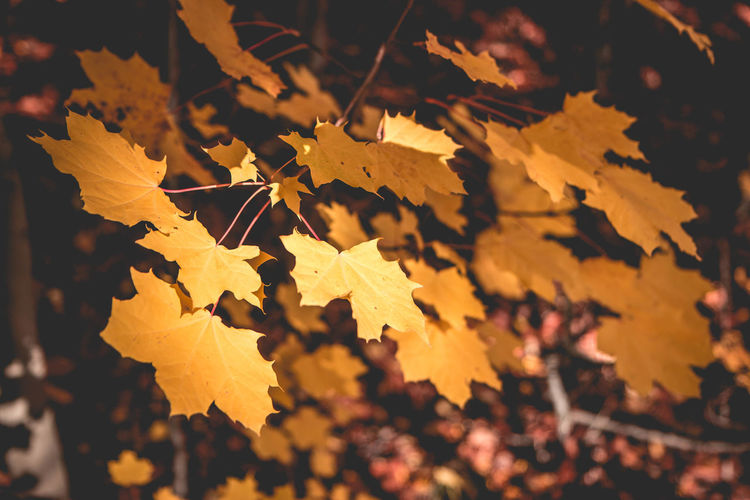 Autumn mount Etna Plants Yallersitalia Yellow Color Maple Leaf Tranquility Sunlight Outdoors Fragility Vulnerability  Leaves Selective Focus Growth Day Focus On Foreground Plant Beauty In Nature No People Nature Autumn Close-up Change Leaf Plant Part