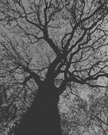 Ash Tree Black And White Tree Branch Backgrounds Silhouette Tree Trunk Flower Sky Tree Canopy  Single Tree Directly Below