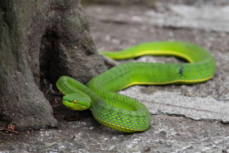 One Animal Animal Themes Animals In The Wild Green Color Animal Wildlife Reptile Animal No People Snake Close-up Day Nature Vertebrate Focus On Foreground Outdoors Selective Focus Animal Body Part Tree Field Animal Head  Animal Scale Viper  Snake Green Tree Pit Viper