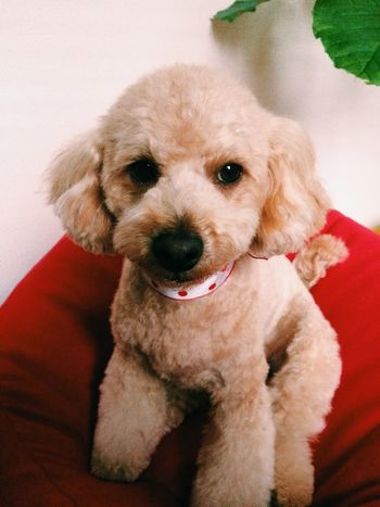 Back from grooming, My Toypoodle looks so unfamiliar now...