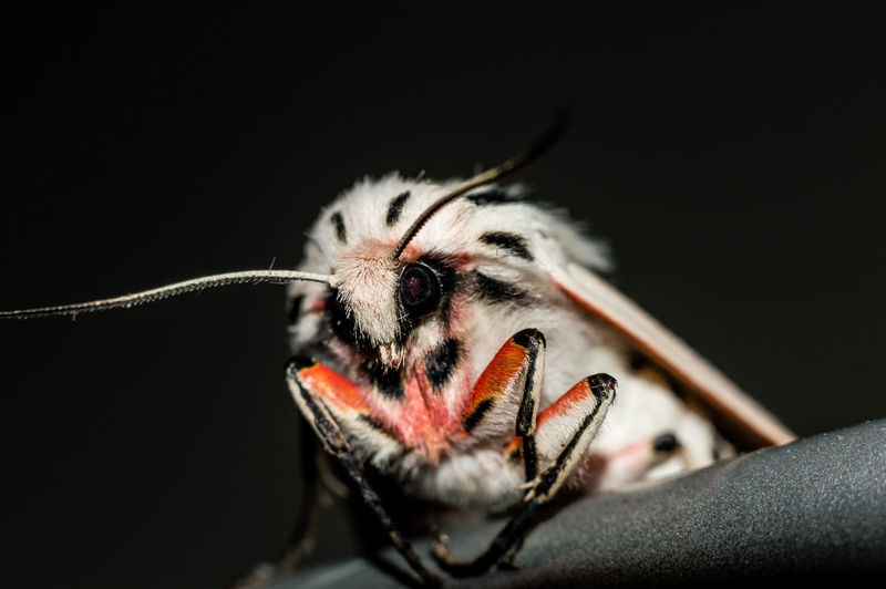 Macro Insects Macro Photography Animal Themes Animal Wildlife Animals In The Wild Black Background Close-up Grey Macro Moth Night No People One Animal