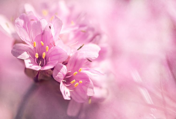 Pink flower Backgrounds Beauty In Nature Blooming Blossom Botany Close-up Flower Flower Head Focus On Foreground Fragility Freshness Growth Macro Macro Photography Nature Petal Pink Pink Color Pink Flower Plant Pollen Selective Focus Wildflower Flower Photography Fine Art Photography