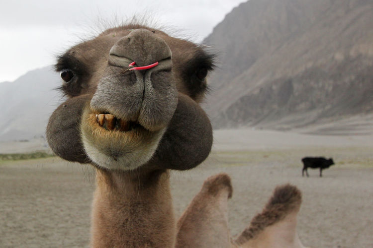 Close-Up Of Camel Against Mountain